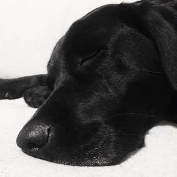 sleeping labrador nose